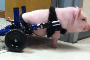 Chris P Bacon in Walkin Wheels