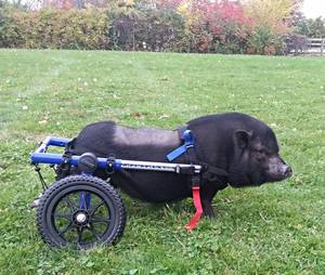 paralyzed-pig-rolls-to-recovery-in-walkin-wheels