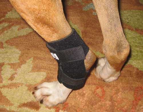 Hock Holder for Rear Leg of Dog