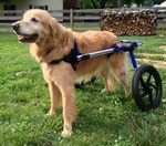 Bailey Rescue Dog Wheelchair